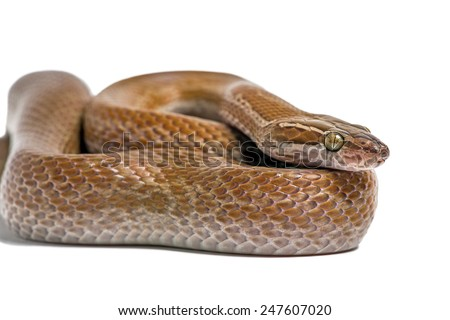 Coiled Cape House Snake on white background/Cape House Snake/Cape House Snake (Boaedon Capensis) - stock photo