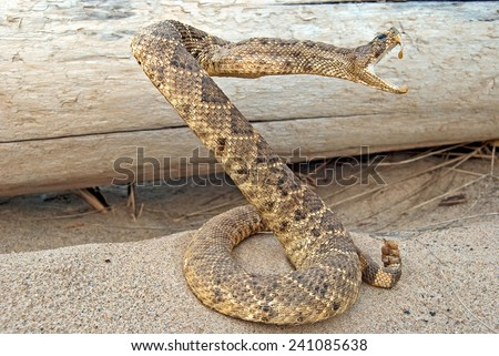 coiled rattle snake in sand by weathered log - stock photo