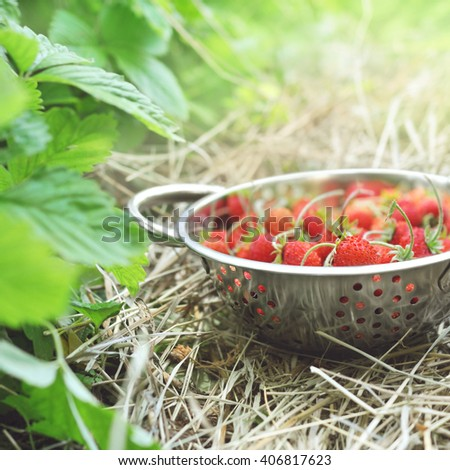 Colander of wild strawberries on bushes background in garden, selective focus