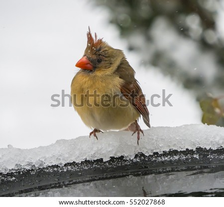 Cold and windblown female Northern Cardinal  during snow fall perched on edge of birdbath.