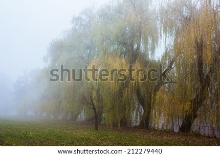 Cold park in a fog. Trees with fallen down leaves.