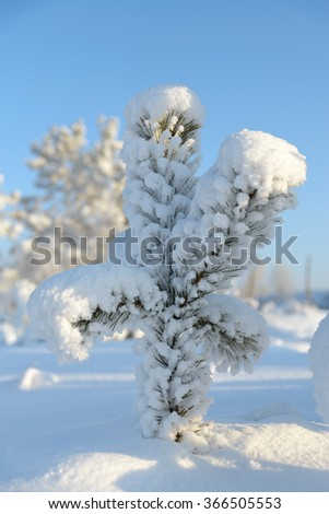 Cold winter pine covered with snow