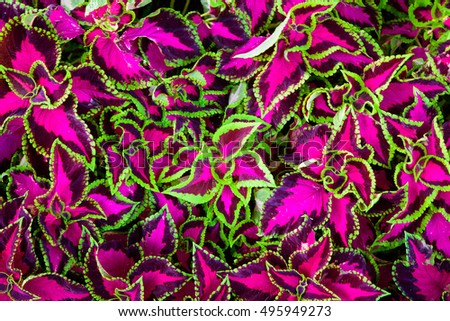 Coleus leaves also called Painted nettle, Flame nettle. pink, purple and green background texture, top view.
