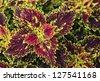 Coleus - natural background - stock photo