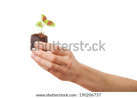 coleus sprout in female hand. Isolated on white background