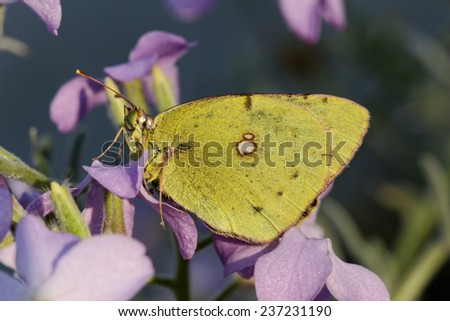 Colias crocea, Dark Clouded Yellow, Common Clouded Yellow , european butterfly from Corsica, France, Europe - stock photo