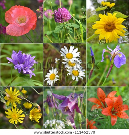 Collage full of wild flowers. sunflower, iris, clover, camomile, Aquilegia , poppy, hand bell, lily - stock photo