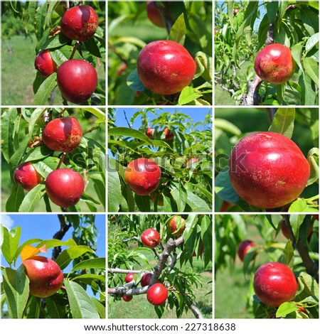 Collage made of nine photos of red ripe nectarines on a tree, on a sunny summer day. - stock photo