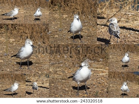 Collage of a beautiful seagull   seabird of family Laridae in sub-order Lari  young  brown speckled chick   standing on the bare ground on a hot summer afternoon . - stock photo