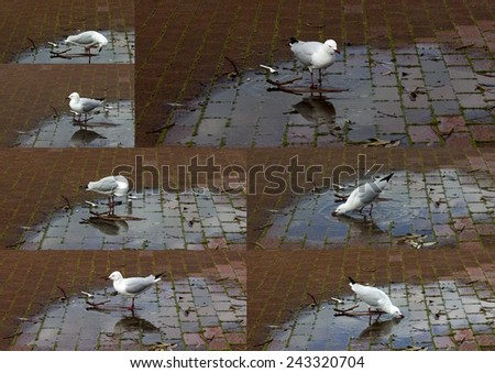 Collage of a  beautiful  white seagull  seabird of the family Laridae in the sub-order Lari  sipping water from  a puddle in the clay brick  parking area of the park on a cloudy winter  afternoon - stock photo