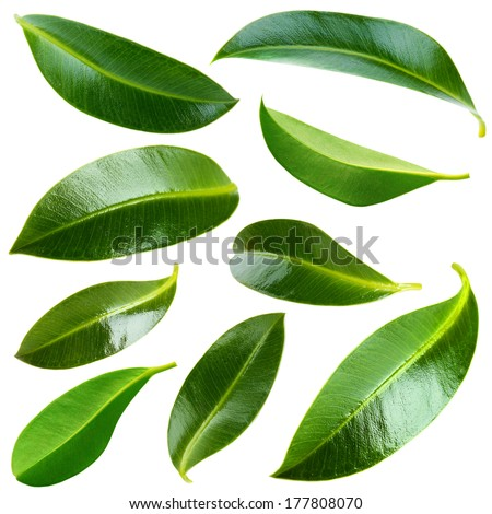 Collage of beautiful green leaves isolated on white - stock photo