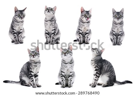 Collage of beautiful grey cat isolated on white - stock photo