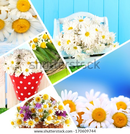 Collage of beautiful wild camomiles - stock photo