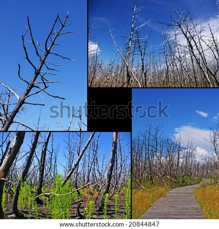 Collage of burned trees - stock photo