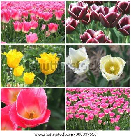 Collage of colorful blooming tulips, Netherlands