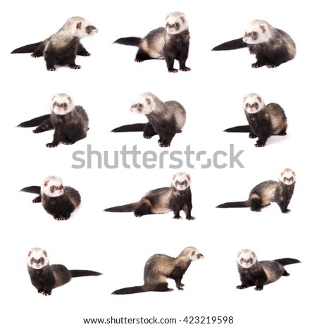 Collage of cute gray ferrets in full growth, isolated on white background - stock photo