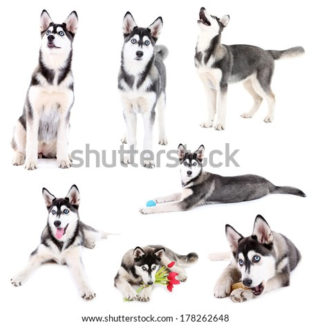 Collage of cute husky puppy isolated on white - stock photo