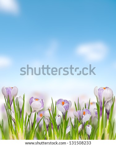 collage of Easter spring flowers crocuses on blue sky
