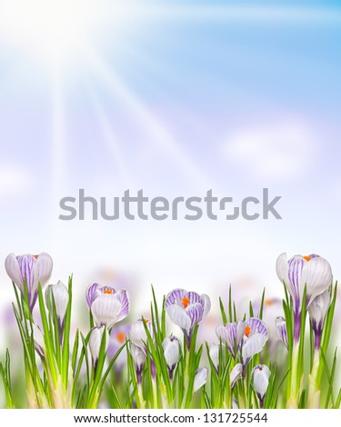 collage of Easter spring flowers crocuses with sunlight