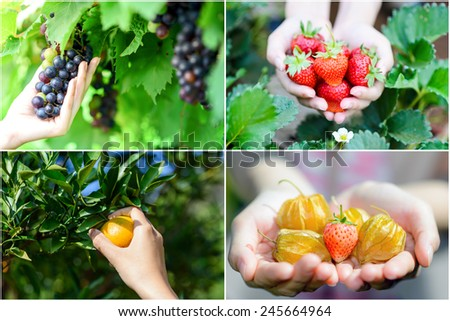 Collage of hands picking fresh friuts and berries - stock photo