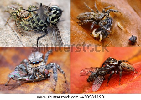 Collage of jumping spiders with flies images (Longer side of one image is 2900 pixels) - stock photo