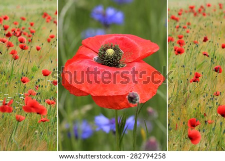 collage of red poppies in the field and one red poppy flower - stock photo