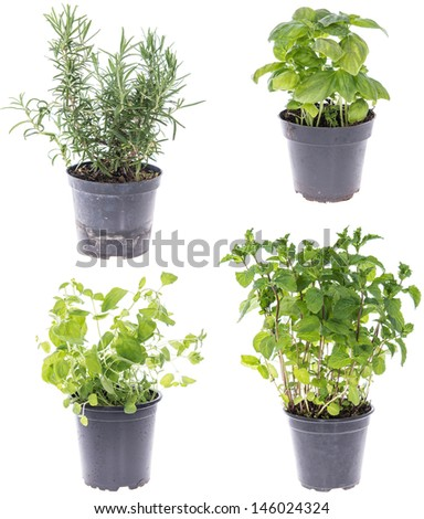 Collage of Rosemary, Oregano, Mint and Basil Plants isolated on white - stock photo