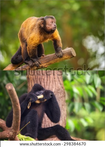Collage of small monkeys sitting on a tree. Brown capuchin monkey. Yellow-cheeked gibbon.