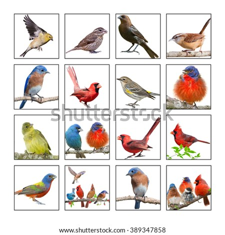 Collage of Songbirds Isolated on White Background - stock photo