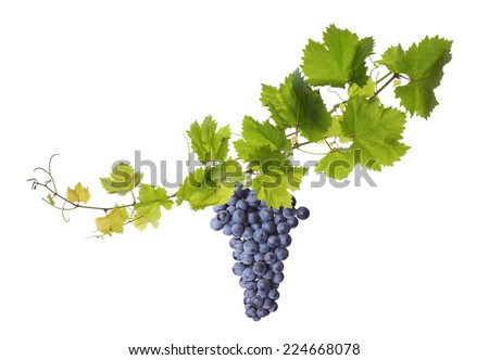 Collage of vine leaves and blue grape - stock photo