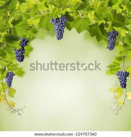 Collage of vine leaves and blue grapes - stock photo