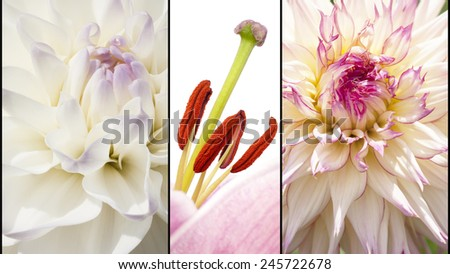 Collage of while and pink Dahlias and red Lily pestle in close up separated with black strips - stock photo