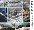 Collage Reptile Crocodile black monitor and iguana, closeup for design work - stock photo