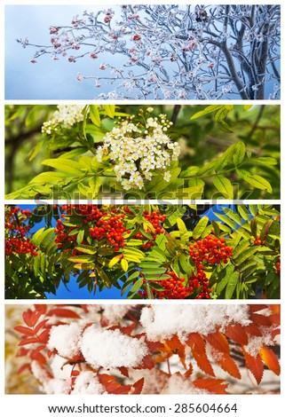 Collage. Rowan tree in winter, spring, summer and autumn. Floral backgrounds. Four seasons. Calendar  - stock photo