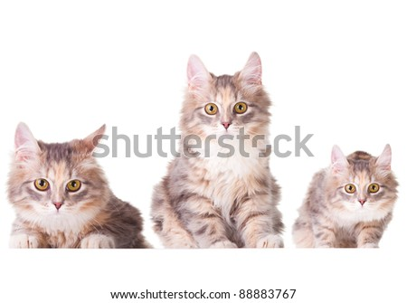 Collage set with studio portrait of three beautiful young colorful kittens lying on isolated white