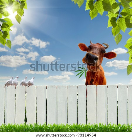 Collage with a cow zaboromi marijuana - stock photo