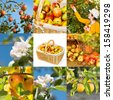 Collage with apple trees, blossoms and ripe fruits - stock photo