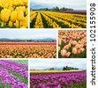Collage with colorful tulip fields - yellow, purple and peach-yellow tulips - stock photo