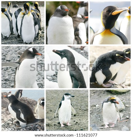 Collage with different penguin species from Antarctica, South Georgia and Falkland Islands