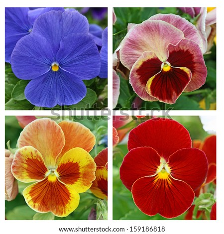 Collage with 4 pansy flowers (1)