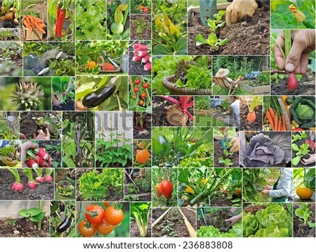 collage with vegetables and gardening in vegetable garden  - stock photo