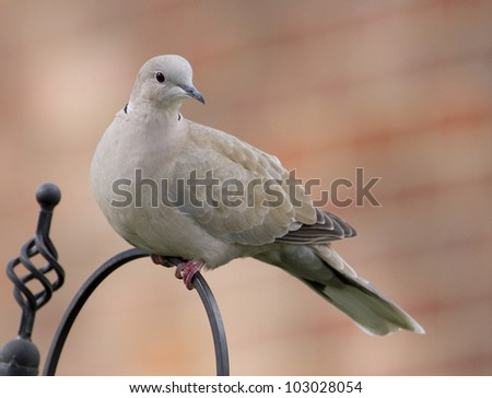 Collar dove sat on a black pole with a red muted background. - stock photo