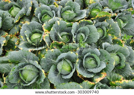 Collards greens - stock photo