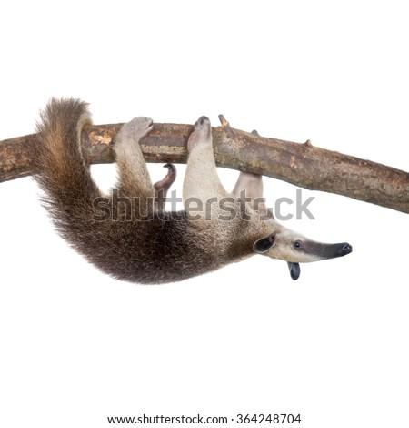 Collared Anteater, Tamandua tetradactyla isolated on white background - stock photo