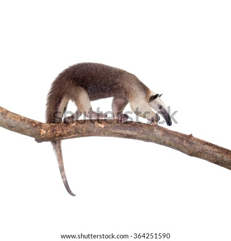 Collared Anteater, Tamandua tetradactyla isolated on white background