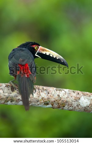 Collared Aracari (Pteroglossus torquatus) shot in Panama. - stock photo