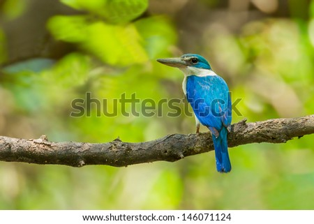 Collared Kingfisher (Todiramphus chloris) in the forest - stock photo