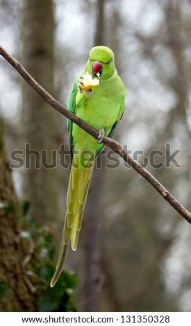 Collared parakeet eating a small end of apple, forest in France - stock photo