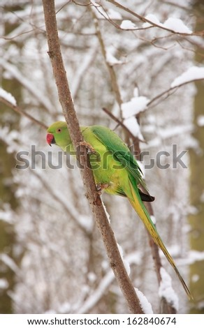 Collared parakeet in winter (France Europe)  - stock photo