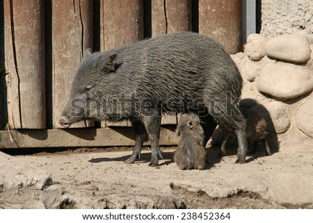 Collared peccary (Pecari tajacu) feeding its little piglets. - stock photo